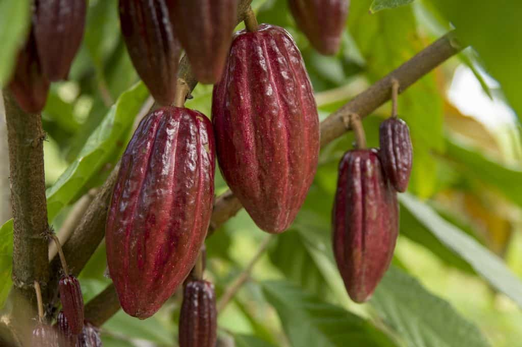 Cacao fruit on cacao tree