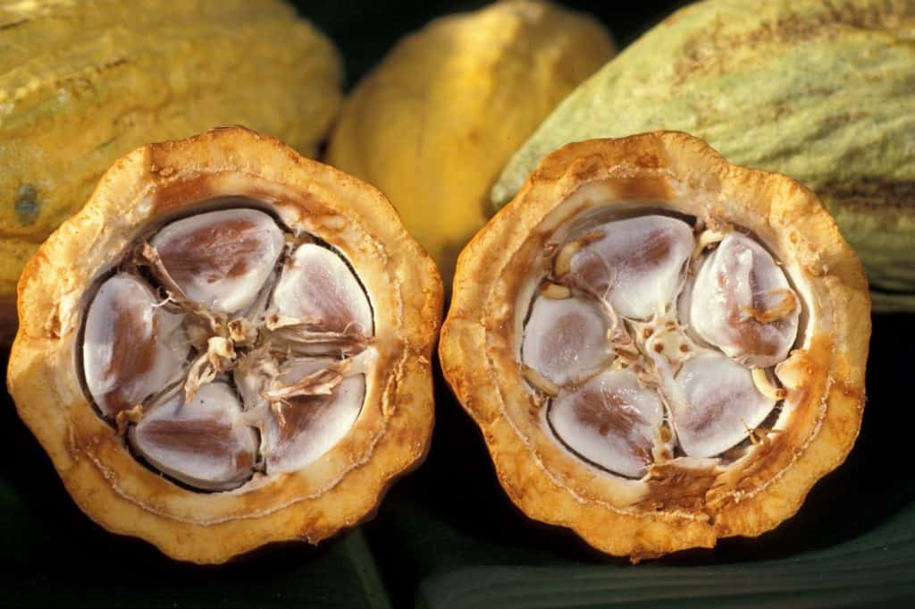 Cacao fruit cut open with cacao beans inside
